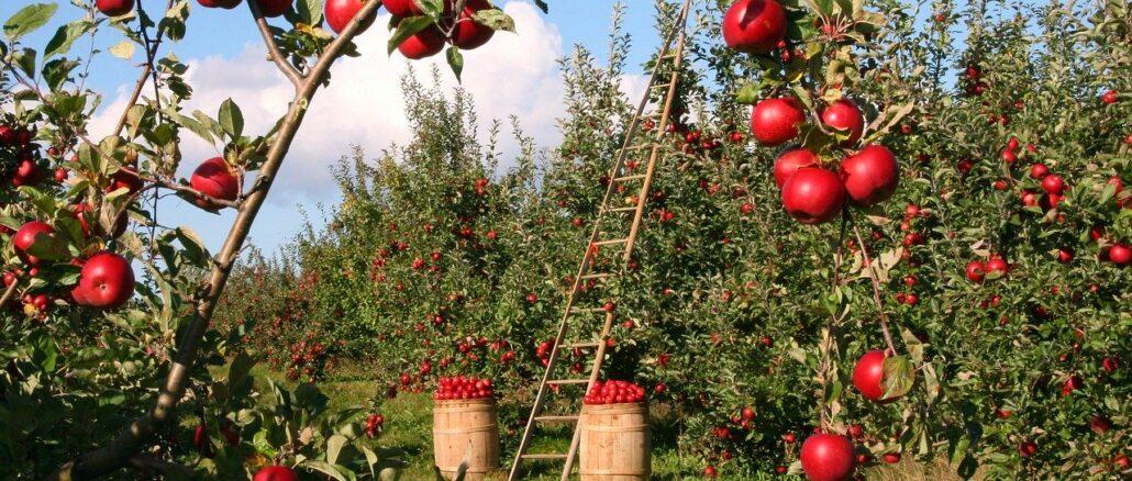 Obstgarten vor Schädlingen schützen